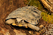 African Pancake Tortoise (Malacochersus tornieri) Cotswold Wildlife Park, Oxfordshire, UK.
