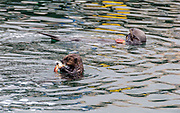 Mother and baby sea otter eating crab in the water at Morro Bay, California.