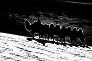 In the Gobi Desert of Mongolia, a silhouette of a camel herder leads his Bactrian camels (Camelus bactrianus) over the snow covered dunes during winter, black and white, Gobi Desert, Mongolia