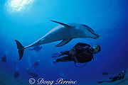 scuba divers observe a bottlenose dolphin, Tursiops truncatus, Roatan, Honduras ( Caribbean Sea )