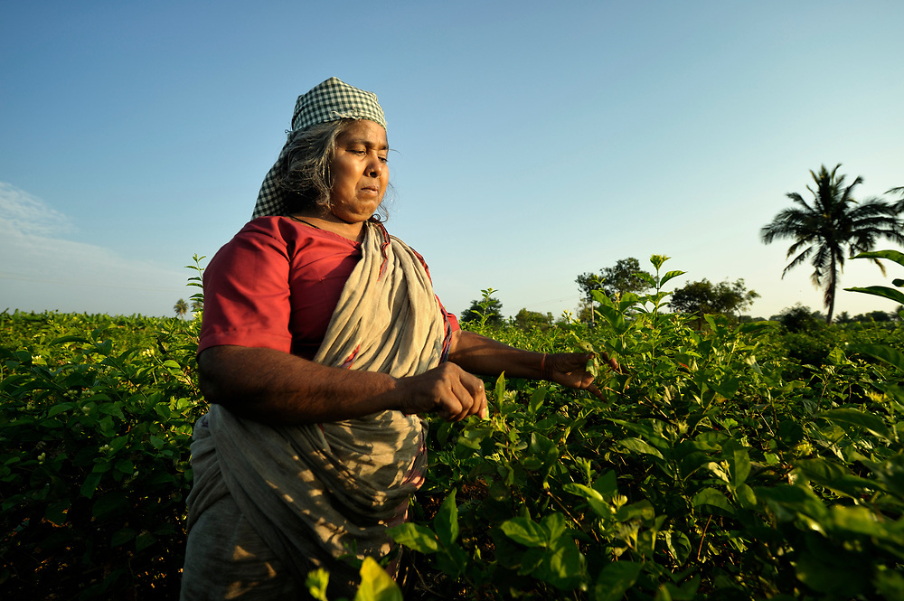 A woman harvests jasmine blossoms in Nallur, a small village in the state of Tamil Nadu in southern India.