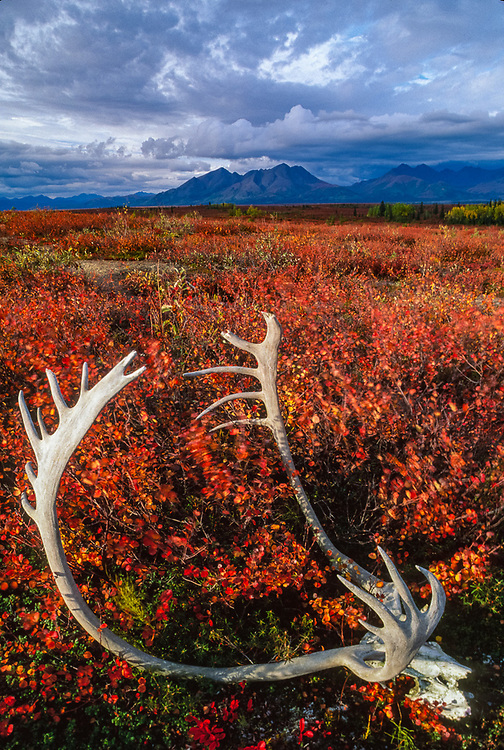 Caribou antlers, Jade Mountain in the distance, September, Onion Portage, Kobuk Valley National Park, Alaska, USA