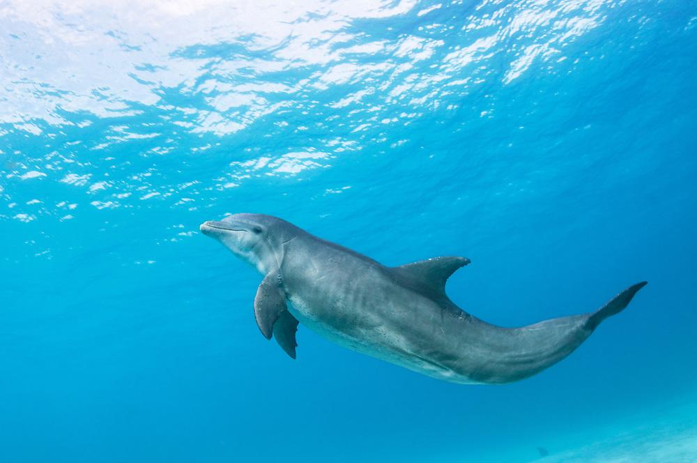 A large Bottlenose dolphin (Tursiops truncatus) underwater off Abaco, Bahamas.