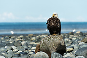 A bald eagle sits on a rock along the beach at Anchor Point, Alaska.
