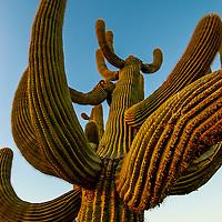Saguaros and Cacti