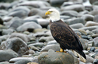 Bald Eagle (Haliaeetus leucocephalus), on beach, Oyster Bay, nr Cambell River, Vancouver Island, Canada   Photo: Peter Llewellyn
