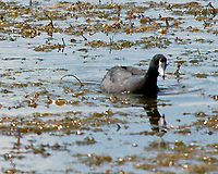 American Coot (Fulica americana). Arapaho National Wildlife Refuge, Colorado. Image taken with a Nikon D2xs camera and 80-400 mm VR lens.