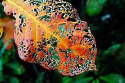 Forest tree leaf. Big Island, Hawaii