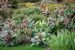 Helleborus × sternii syn. Helleborus argutifolius × lividus. Stern's hybrid hellebore