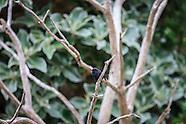 Petroica macrocephala dannefaerdi (Snares Island tomtit)