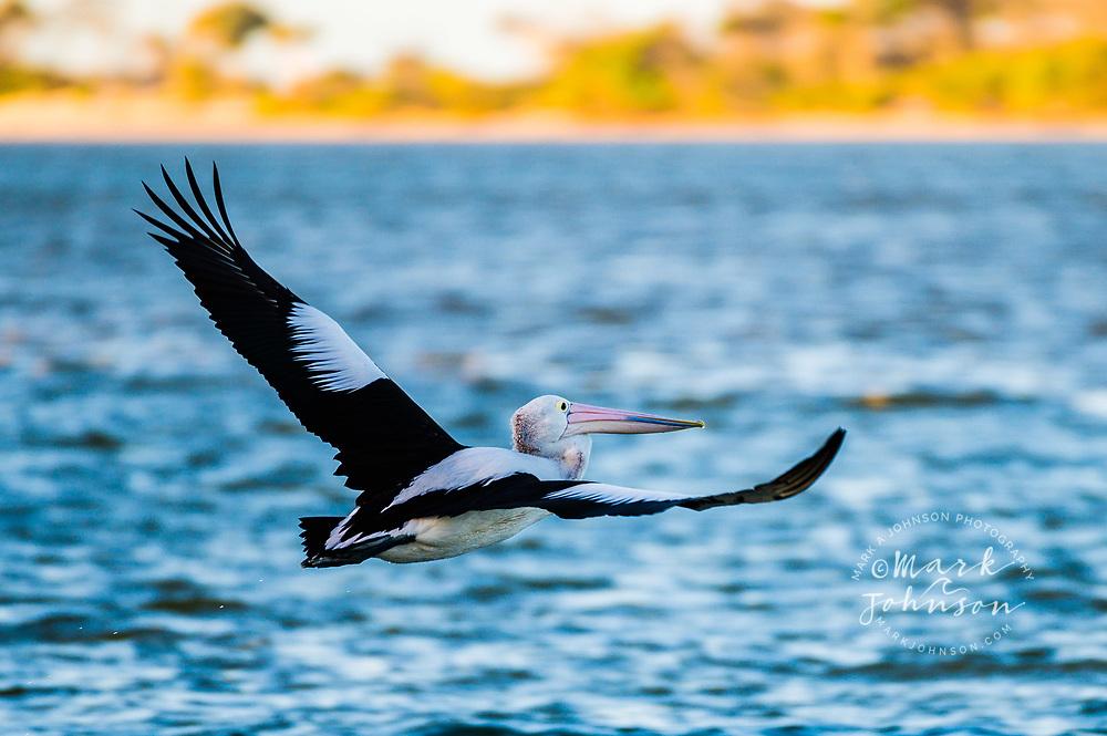 Australian Pelican in flight, Pumicestone Passage, Caloundra, Sunshine Coast, Queensland, Australia