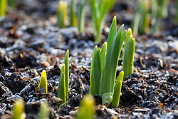 Emerging narcissus shoots pushing through the frosty ground