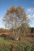 Silver birch tree in heathland meadow Butley, Suffolk, England