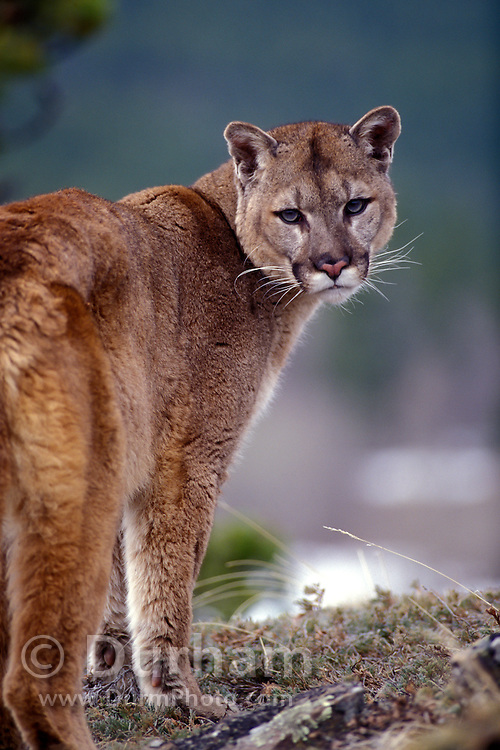 Adult male Cougar (Felis concolor) portrait. Range: North America, Canada south to all South America. Captive, Montana.