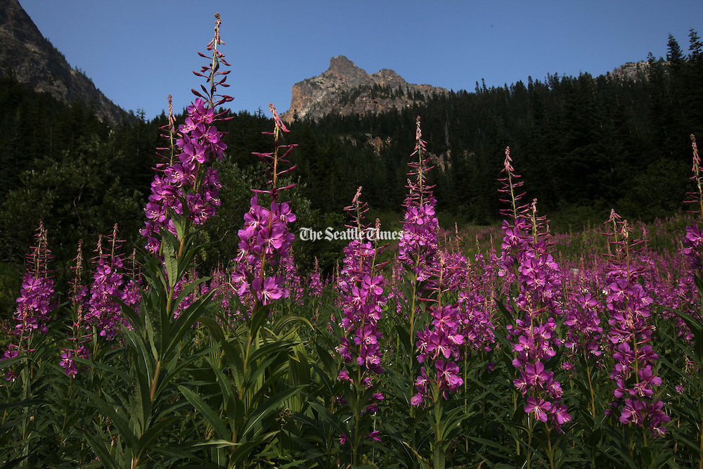 A small field of fireweed waves in the breeze on the trail to Easy Pass in August in North Cascades National Park. (Erika Schultz / The Seattle Times)