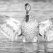Mallard duck hen reveals magnificent black-tipped white wings.