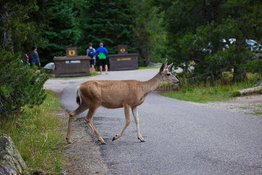 Mule deer at Jenny Lake Campground, at Grand Teton National Park, Wyoming