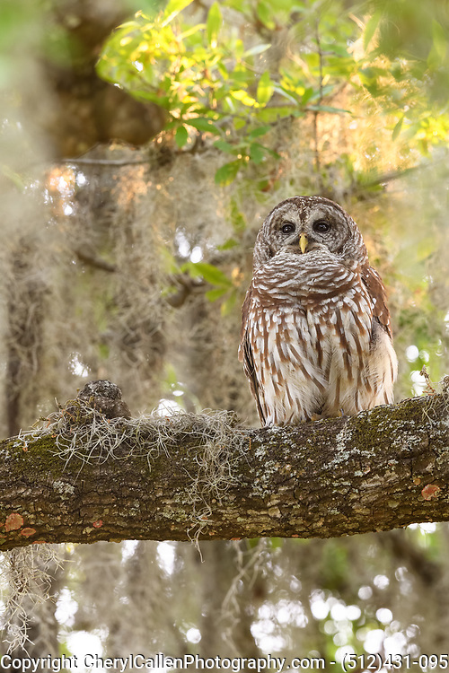 Female Barred Owl in the mossy tree