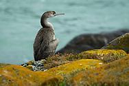 Oceania, New Zealand, Aotearoa, South Island, Otago, Juvenile Cormorant