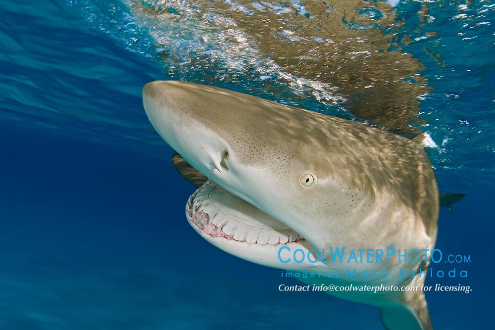 Lemon Shark, Negaprion brevirostris, with mouth open, showing Ampullae of Lorenzini, nostrils, eye, and teeth, West End, Grand Bahama, Bahamas, Caribbean, Atlantic Ocean