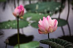 Lotus, nelumbo, pink #6