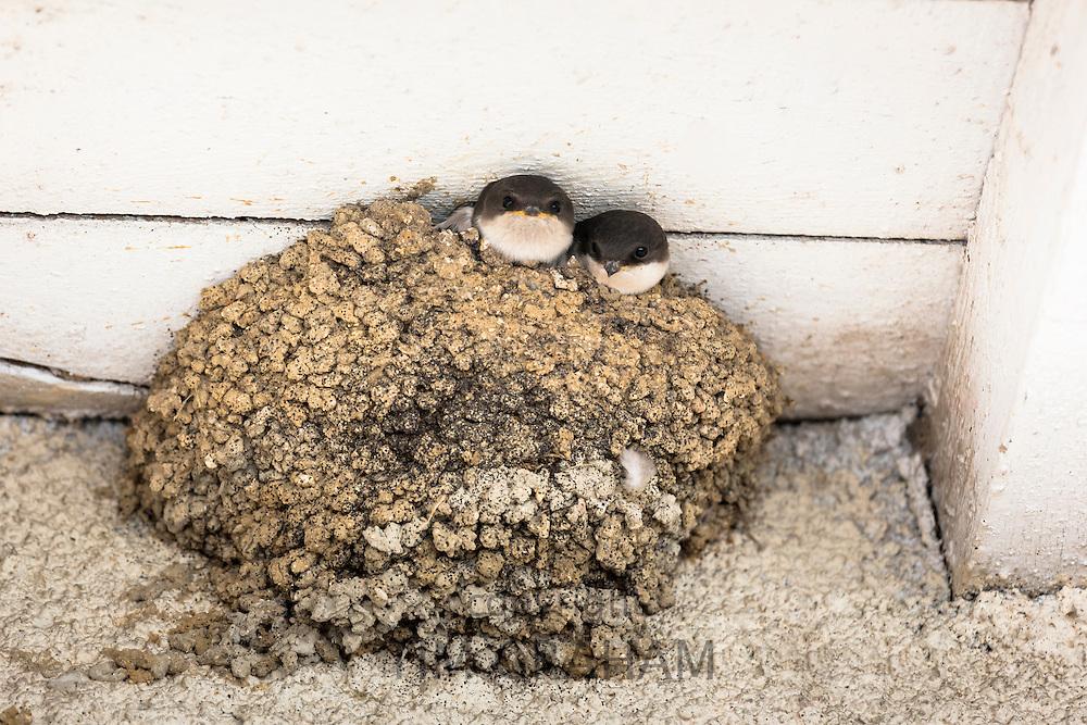 House martins fledgling birds in birds nest at Mancy, Champagne-Ardenne, France