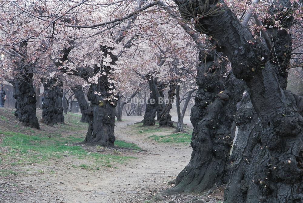Central park cherry blossom garden