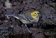 Hermit Warbler - Dendroica occidentalis - immature