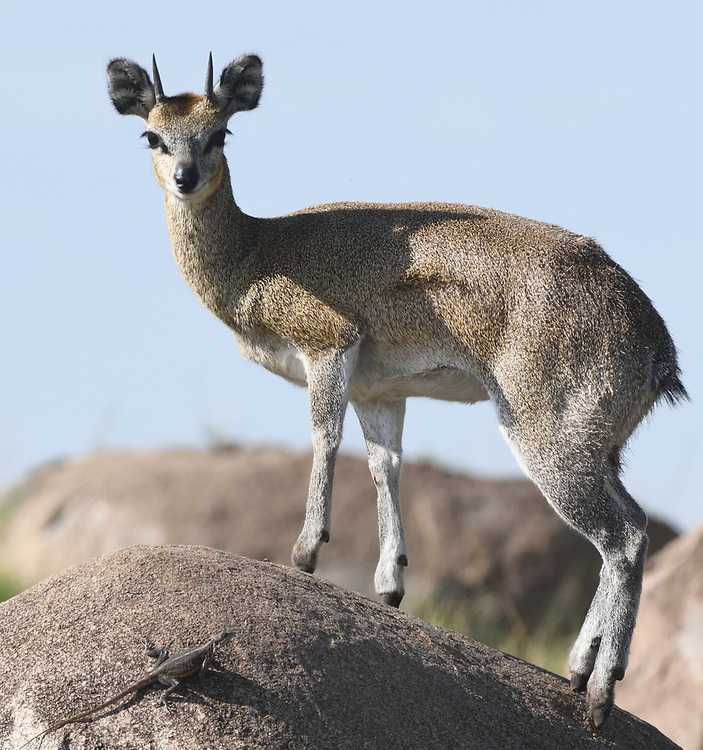 A male klipspringer (Oreotragus oreotragus) in a typical pose on a rocky outcrop, a kopje.  Klipspringers have evolved to walk on the tips of their hooves so they can run up steep rocks, taking advantage of tiny crevices. Serengeti National Park, Tanzania.