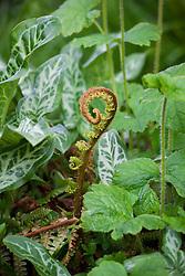 Emerging fern amonst Arum italicum 'Pictum' foliage. Polystichum setiferum