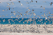 great crested terns or swift terns ( Sterna bergii or Thalasseus bergii ) Turu Cay, Torres Straits, Queensland, Australia
