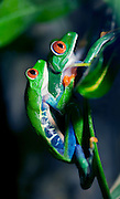 A macro shot of a pair of mating Red-Eyed Tree Frogs (Agalychnis callidryas) climbing to a leaf to lay their eggs.