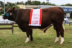 Grande campeão da raça Maine Anjou da 38ª Expointer, que ocorrerá entre 29 de agosto e 06 de setembro de 2015 no Parque de Exposições Assis Brasil, em Esteio. FOTO:Vilmar da Rosa/ Agência Preview