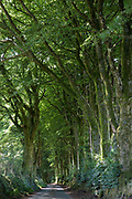 Tall trees forming a sculptural canopy and shade on a sunny day along a country lane in Devon, UK