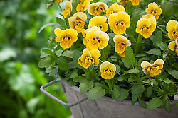 Viola 'Green Goddess' in a metal container