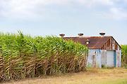 Sugar cane plantation and old barn shack along the Mississippi in Louisiana, USA