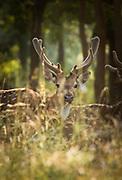 Spotted deer in Satpura National Park in India