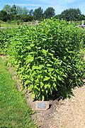 Jerusalem artichoke variety 'fuseau' growing, vegetable garden, Sissinghurst castle gardens, Kent, England, UK