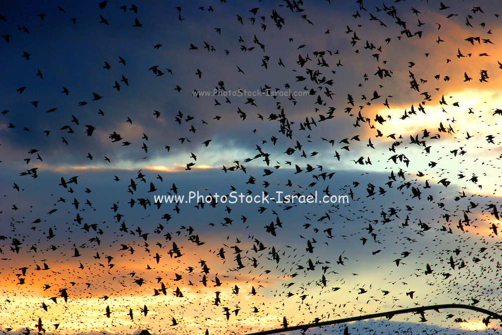Israel, Galilee a flock of birds at sunset