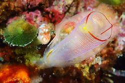Tunicate, sea squart or ascidian, Rhopalaea crassa, Mapia Island, West Papua, Indonesia, Indo-Pacific Ocean