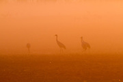 Common Crane (Grus grus) a flock in wetland, This bird is a Large migratory crane species that lives in wet meadows and marshland. Photographed in the hula valley, israel in November at dawn