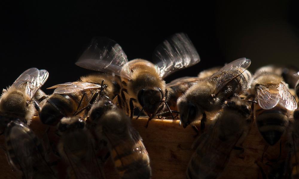 European honey bee (Apis mellifera), flapping wings to control hive temperture, Captive,  credit: Palo Alto JMZ/M.D. Kern
