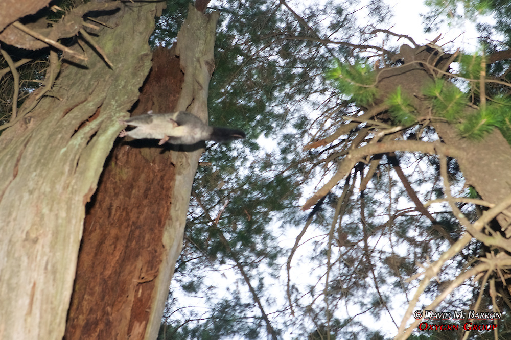 Mountain Brushtail Possum In The Air (Out Of Focus!)