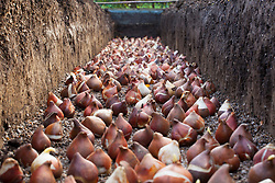 Massed tulip bulbs layed out in a deep trench