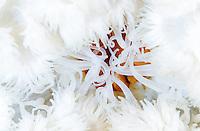 Plumose anemone, Metridium senile, Lofoten, Norway,