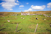 Derelict abandoned croft house with sheep grazing, Dale of Walls, Mainland, Shetland Islands, Scotland