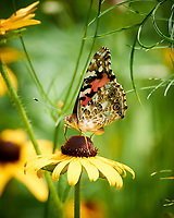Painted Lady Butterfly on a Coneflower Flower. Image taken with a Nikon 1 V3 camera and 70-300 mm VR lens.