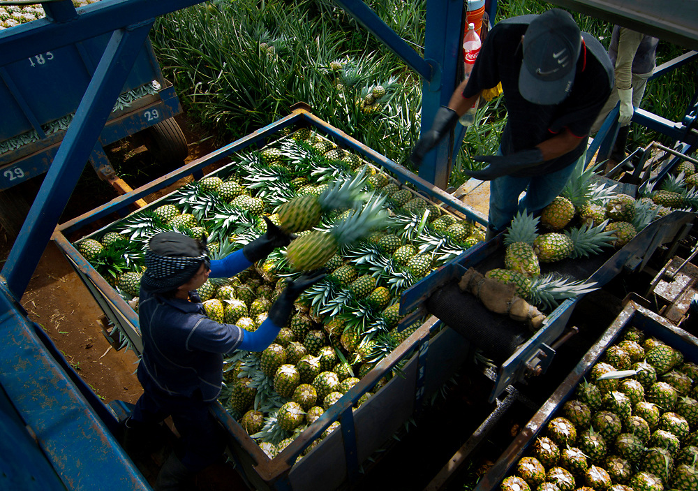 Pineapple farm workers load and organize picked pineapples onto trailers.  Costa Rica is one of the worlds biggest exporters of pineapples.