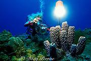 diver photographs purple tube sponges, <br /> Aplysina archeri,<br /> St. Croix, U.S. Virgin Islands<br /> ( Caribbean Sea ) MR 103