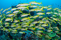 Snappers and Goatfish schooling together<br /> <br /> Shot in Indonesia